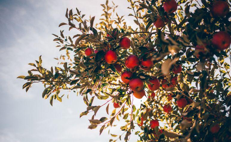 Das Bild ist auf der Seite Honorar und zeigt den Blick von unten in einen Apfelbaum mit reifen Äpfeln, welche auch an das Thema gesunde Ernährung erinnern.